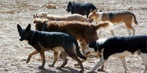 perros-asilvestrados