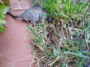 Galàpagos. Ratas en viviendas próximas al punto recogida residuos