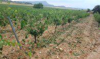 Finaliza el plazo para contratar el seguro de pedrisco en uva de vinificación y en frutales para esta campaña