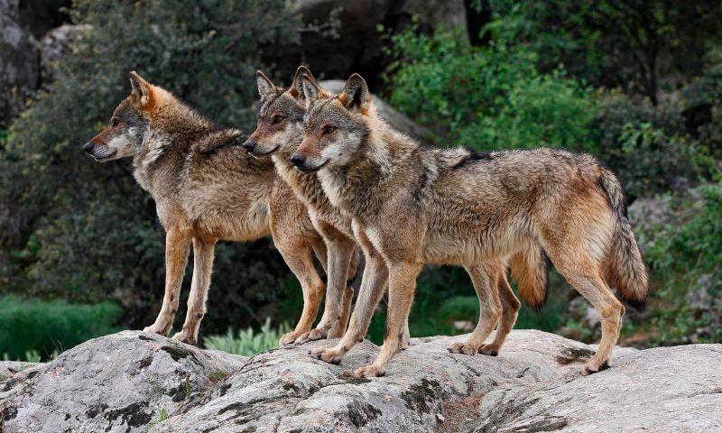Los lobos matan tres ovejas en Carrascosa de Henares