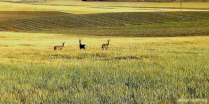 ASAJA CLM exigirá a Agricultura que cumpla los compromisos y active medidas para poner fin al daño de la fauna silvestre en los cultivos