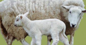 El precio de leche de oveja baja casi un 8% en marzo en Castilla-La Mancha