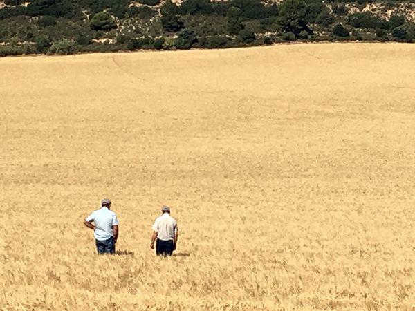 La sequía daña la cosecha al 50% en algunas comarcas de Guadalajara, según APAG