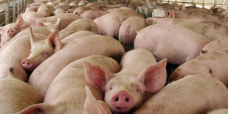 Más de la mitad de vecinos de Fuentes firman en contra de una explotación porcina cerca del pueblo, según Ecologistas