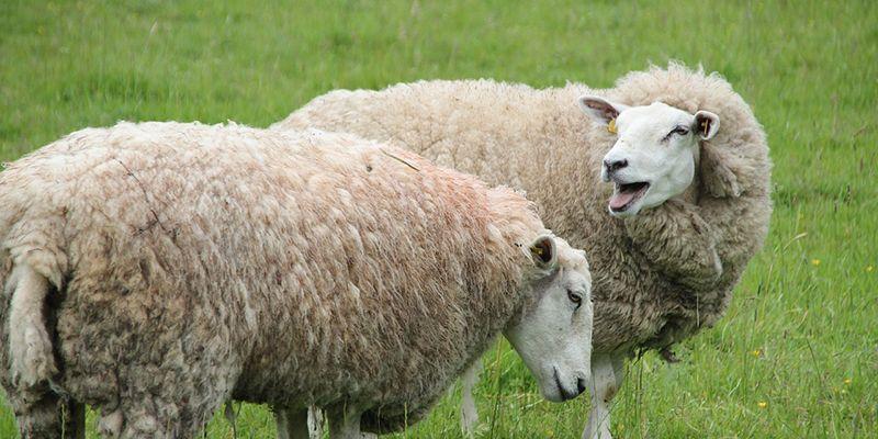 Unión de Uniones duda de que Castilla-La Mancha produzca la leche de ovino que dice producir