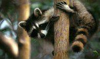 Recuperan un mapache Procyon en Fontanar, una especie agresiva y portadora de la rabia