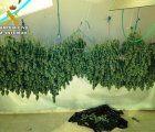 Cuatro detenidos por tráfico de drogas y cultivo de marihuana en Torrejón del Rey