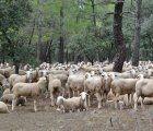 """La Comisión Europea declara a Albacete, Cuenca y Guadalajara """"libres de brucelosis"""" ovina y caprina"""
