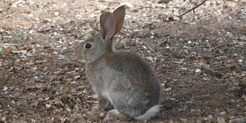 Sociedades de cazadores de CLM analizarán la situación actual de la plaga conejos