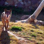 Un juzgado de Guadalajara condena a la Junta a indemnizar a un ganadero de Guadalajara por ataques de lobos a su ganado