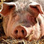 Unión de Uniones valora el aumento de los precios del porcino durante 2017 de un 11,50% respecto a 2016