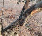 Declarada la comarca de emergencia cinegética por daños de conejo de monte