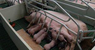 Presentan un recurso contra la autorización de la Junta a la granja de las 2.600 cerdas en Almendros