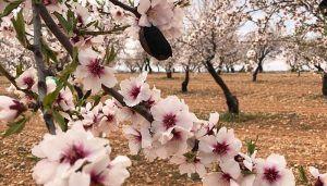 Agricultores de La Manchuela alertan del riesgo de la avispilla para el cultivo del almendro y piden medidas para evitar que se propague la plaga