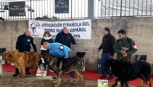 Diputación de Cuenca mantiene su respaldo a la celebración en Jábaga del V Concurso de Mastín Español