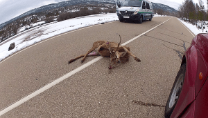 Espectacular atropello de un ciervo en Uña