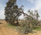 Iniciado el expediente para declarar la 'Carrasca Ruli' como árbol singular, el primero en la región desde 2011