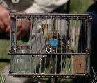 La Plataforma en Defensa del Silvestrismo pide al MAPAMA que revise las Directrices sobre capturas de fringílidos