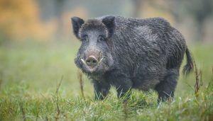 La RFEC aplaude la prohibición del envío de jabalíes silvestres entre países de la UE para controlar el avance de la PPA