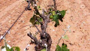 Varios miles de hectáreas de uva bobal de La Manchuela, afectadas por  marchitez fisiológica como consecuencia del pedrisco