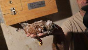 Los niños y niñas de Quer anillan los polluelos de primilla nacidos en cautividad en 2018