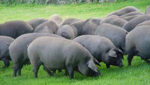 Apoyo de ASAJA Cuenca al acuerdo de la Interprofesional del Porcino Ibérico para reducir la edad de sacrificio de los animales