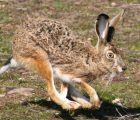 La Federación de Caza de CLM pide a los cazadores colaborar cuando encuentren ejemplares de liebres con síntomas de mixomatosis
