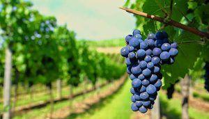 ASAJA CLM tilda de sospechoso e injustificado que las tablillas de los precios de las uvas se publiquen en tiempos y cantidades similares