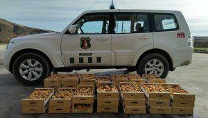 Agentes Medioambientales decomisan 160 kilos de níscalos recogidos en montes públicos de La Mierla y Tamajón