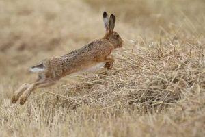 La RFEC suspende la caza de la liebre en todas sus competiciones por el brote de mixomatosis