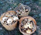 La UCLM y Saceruela celebran los días 23, 24 y 25 de noviembre sus tradicionales jornadas micológicas
