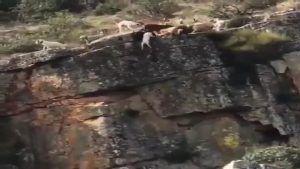 Sólo uno de los doce perros de la rehala que cayeron por un precipicio en Cáceres tras un ciervo ha muerto