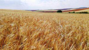 Los cereales de invierno verán recortada la superficie de cultivo en casi 300000 hectáreas