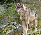 Los ganaderos de la Sierra Norte piden a la Junta una serie de medidas, entre ellas revisar las indemnizaciones, ante el ataque los lobos