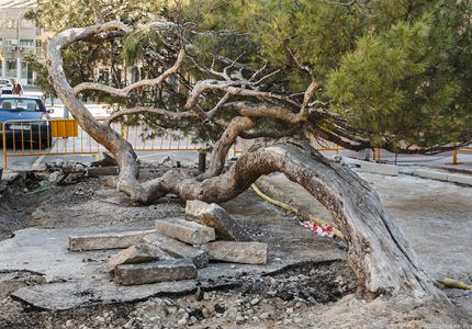"""El entorno del """"pino tumbado"""" de la Concordia, objeto de varias actuaciones para realzar la singularidad y el valor del famoso árbol de Guadalajara"""