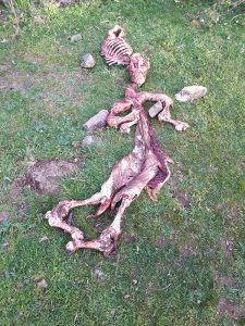 Seis animales muertos y dos desaparecidos por ataques de lobo en la Sierra de Guadalajara