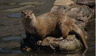 Ecologistas en Acción denuncia que se están trasladando nutrias desde la laguna de Uña al entorno de Buendía