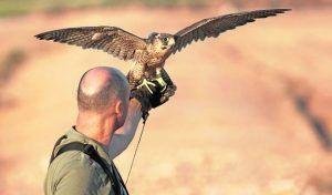 El MINCOTUR confirma a la RFEC que se podrán seguir exportando aves de cetrería como hasta ahora