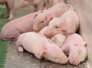 ICPOR obtiene el certificado 'Bienestar animal y bioseguridad' de nueva creación con la máxima calificación excelente