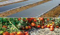 Un suelo más fértil para producir más tomates y con mejor sabor