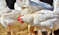 Unión de Uniones defiende las granjas avícolas de modelo familiar frente a las macrogranjas, en la futura norma de ordenación avícola