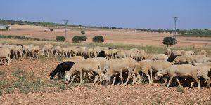 El DOCM publica este viernes la convocatoria de ayudas para ganaderas y ganaderos de extensivo para paliar los daños por ataques de buitres