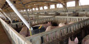 ¡Sí, me confieso culpable de ser promotor de una granja de cerdos!