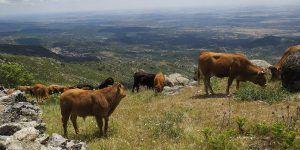El Diario Oficial de Castilla-La Mancha publica este jueves la convocatoria de nuevas ayudas para paliar los posibles daños causados por el lobo ibérico en el ganado