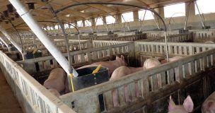 Pueblos Vivos Cuenca denuncia la puesta en funcionamiento de una macrogranja de cerdos en Almendros sin tener los permisos pertinentes