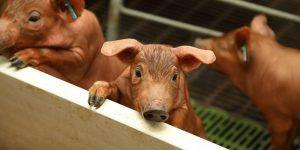 ICPOR garantiza la actividad de sus granjas como primer eslabón de la cadena alimentaria