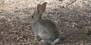 La Junta autorizará los controles de la plaga de conejos en Castilla-La Mancha