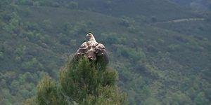 """Liberado un ejemplar de águila imperial que ha sido recuperado en el Centro de Recuperación de Fauna Silvestre """"El Chaparrillo"""""""