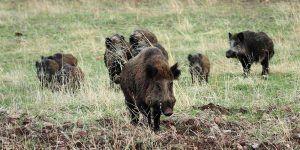VOX Cuenca pide medidas que permitan el control de la fauna silvestre