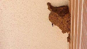 Destrozar nidos de golondrina te puede costar una multa de hasta 200.000 euros